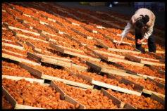 dried-persimmons-yangshuo-village-inn-guilin-yangshuo-china